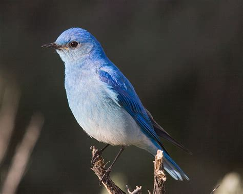 mountain bluebird state symbols usa