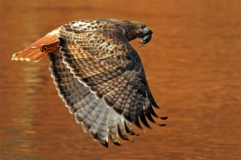flight of the hawk the river a novel of the american west books beautiful pics of trout beautiful hawk in flight a