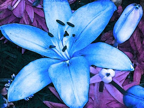blue asiatic lily photograph by shawna rowe