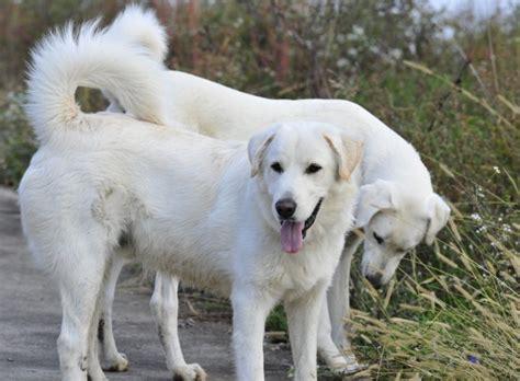 akbash puppies akbash