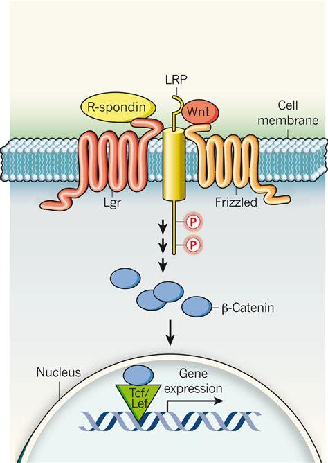 targeting cancer stem cells oncomeds  spondin lgr