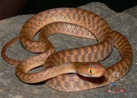 brown tree pics snakes in australia nationwide pest