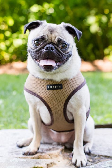 when is national pug day national pug day koukla daily tagdaily tag