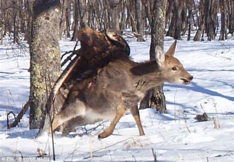 unbelievable moment powerful golden eagle swoops on deer