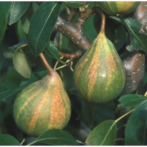 ba hum bug trees humbug pear tree fruit pear trees trees and pears