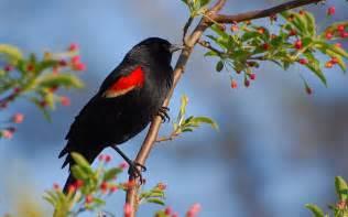 Bird Wallpapers black bird wallpaper photo and wallpaper all black bird