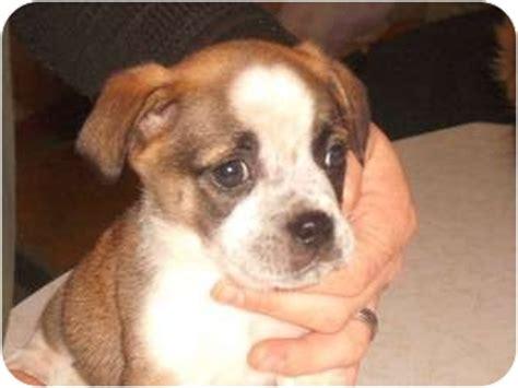 st bernard puppies mn bernard beagle mix breeds picture