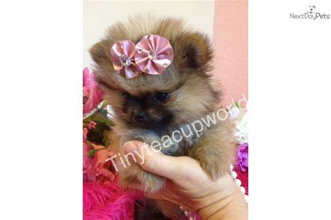 teacup teddy puppies teacup teddy pomeranian puppies
