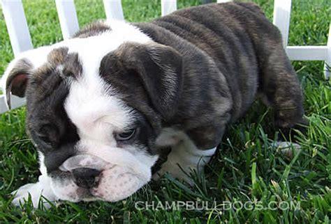 miniature bulldog puppies for sale in mini bulldog puppies for sale in pa