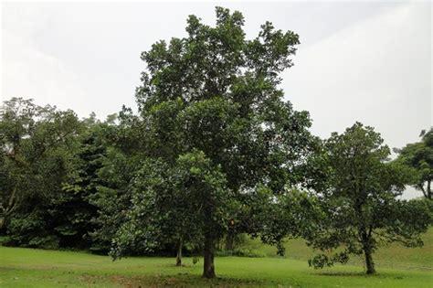 jackfruit artocarpus heterophyllus