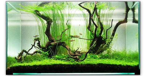 aquascaping with driftwood aquascaping with driftwood and long grass aquarium