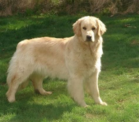 site golden retriever golden retriever goldens