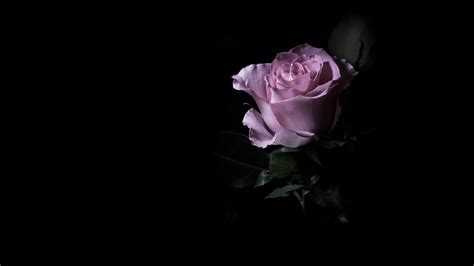 dark wallpaper with flowers purple rose in the dark wallpapers and images wallpapers