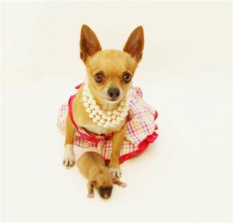 chihuahua puppies houston chihuahua puppies for sale in and dallas autos post