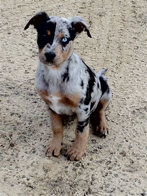 catahoula leopard puppy 118 best images about catahoula leopard on best dogs and 1 year olds