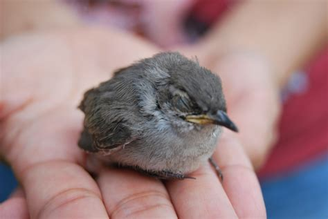 orphaned or injured birds the backyard naturalist the