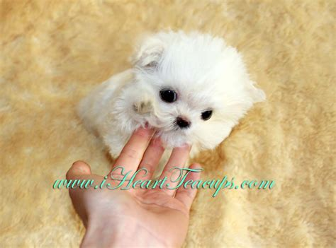 puppies los angeles micro teacup maltipoo pocket micro teacup puppy for sale in los angeles a