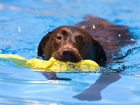 water therapy for dogs hydrotherapy water therapy and swimming for dogs benefits risks and things to