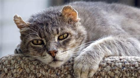 alimentazione gatto anziano alimentazione gatto anziano come nutrire un gatto