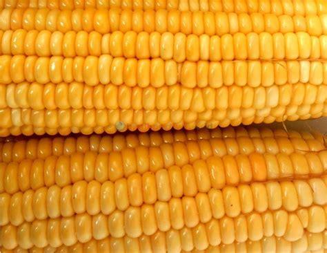 Bibit Jagung Manis Pertiwi asal rasa manis pada jagung manis benih pertiwi