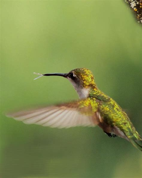 hummingbird tongue photograph by amalia jonas