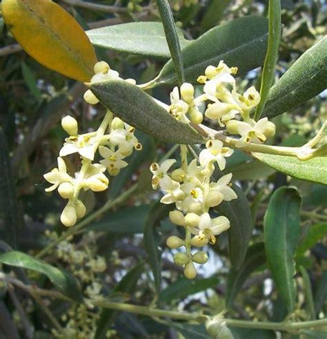 fiori di ulivo fioritura dell olivo flora mediterranea funghi in