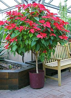 poinsettia tree  mexico