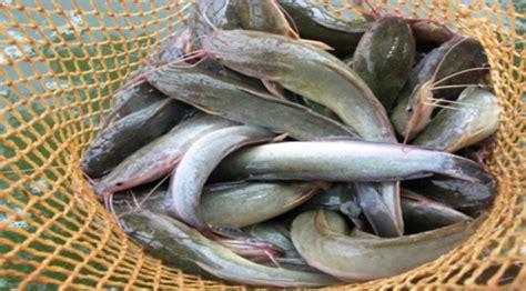 Bibit Lele Tulungagung gondosuli setiap hari panen lele 20 ton