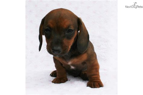 dachshund puppies for sale california dachshund puppies for sale in california dachshund puppies for sale breeds picture