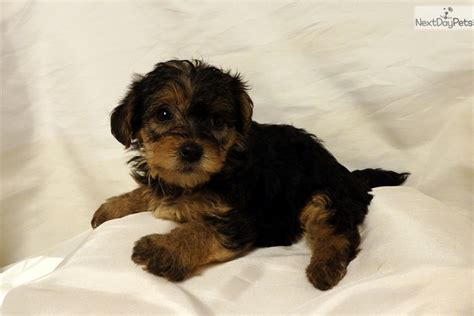 yorkie poo puppies for sale in arkansas yorkiepoo yorkie poo puppy for sale near rock arkansas 066a71b6 5901