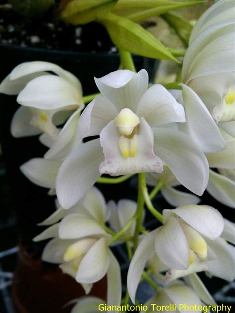 fiori simili alle fiori simili alle orchidee kwckranen