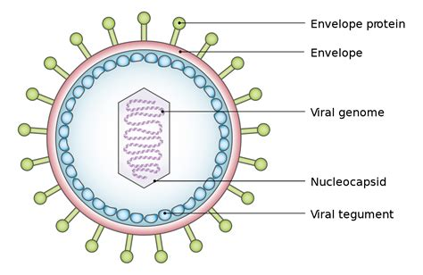 biography generic structure viral tegument wikipedia