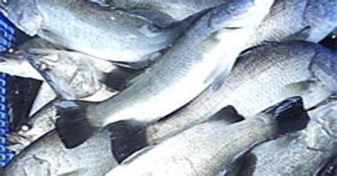 Temperel Hp Atau Cumi Buat Hp komunitas penyuluh perikanan formulasi pakan ikan kakap putih dan udang