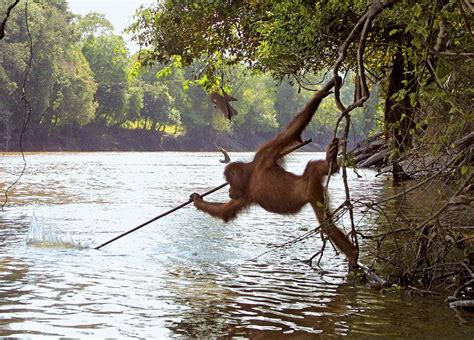 how to hunt with a spear orangutan attempts to hunt fish with spear daily mail