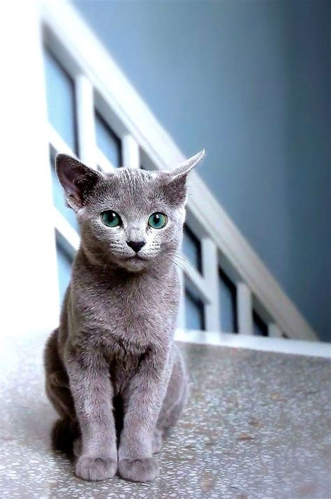 blue cats best 20 blue cats ideas on chartreux russian