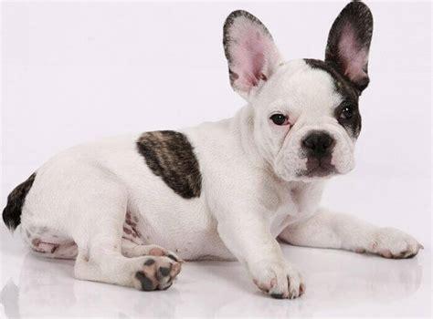 bull frances las 5 cualidades que no sab 237 as de los perros bulldog frances