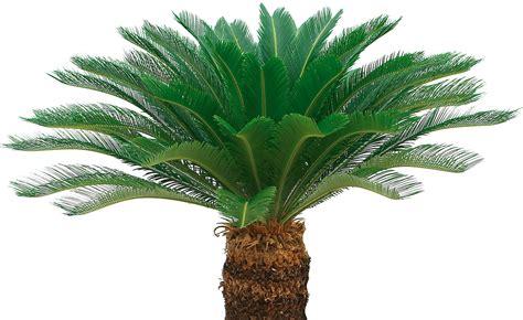 jual pohon sikas murah pohon sikas murah pakis haji
