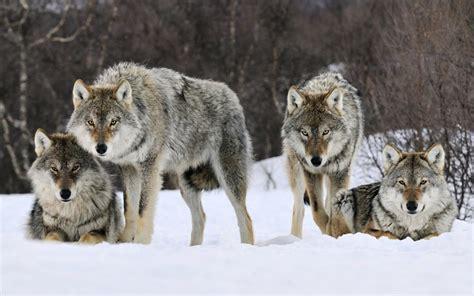 imagenes hd lobos lobos grises hd fondos de descarga gratuita maravillosas