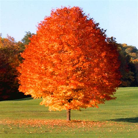 maple tree zone 6 top 30 fastest growing trees for your home fast growing trees