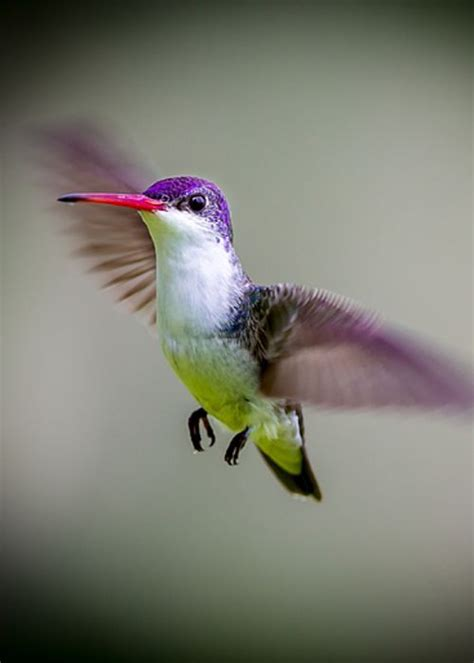 colors of hummingbirds violet hummingbird animals hummingbirds
