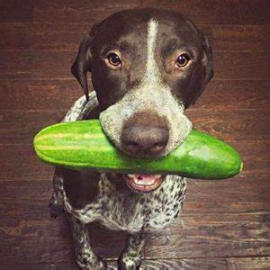 can puppies eat cucumber can dogs eat cucumbers are cucumbers for dogs to eat everyday