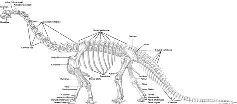 tutorial 15 the bones of the sauropod skeleton sauropod