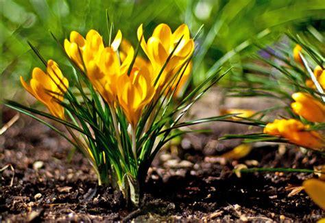 fiori crocus scelte per te giardino fiore crocus