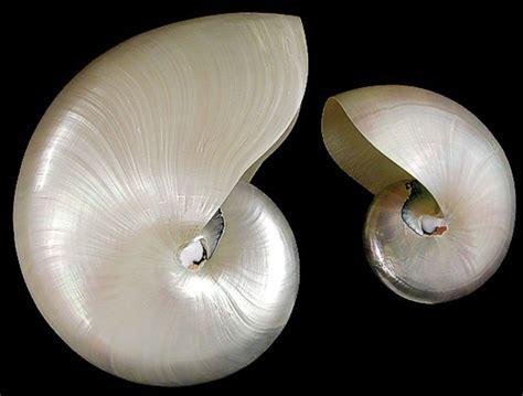 Seashell L by Whole Pearl Nautilus Shell Small 2 3 Quot Coastal