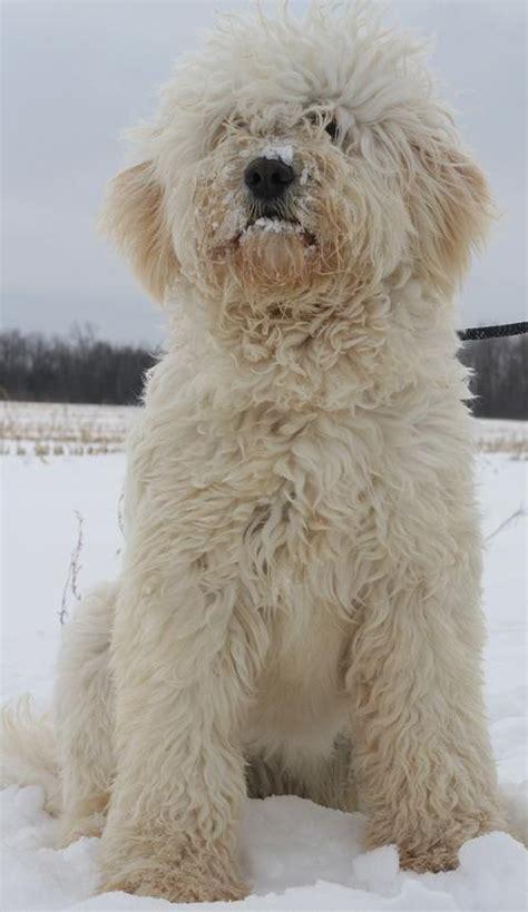 goldendoodle puppy jacksonville 117 best goldendoodle images on