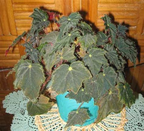 Kebunbibit Tanaman Asparagus Aethiopicus budidaya tanaman hias begonia tanaman hias dan permasalahannya