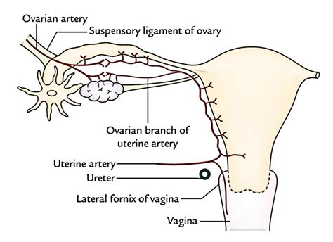 sections of the uterus easy notes on uterus learn in just 4 minutes