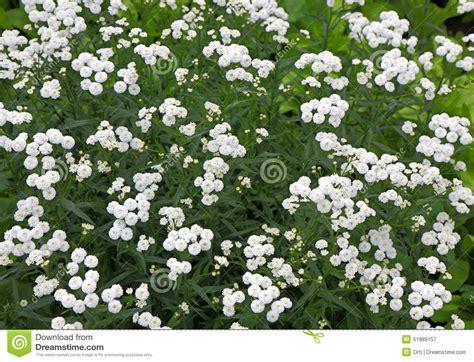 piante da cespuglio fiorite piccoli fiori perenni bianchi cespuglio immagine stock