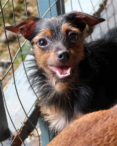 rat terrier yorkie mix dax s web page