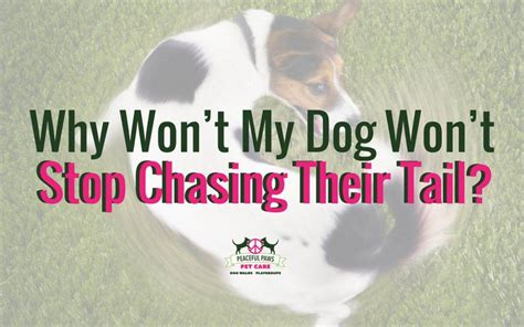 why won t my puppy why won t my stop chasing their peaceful paws pet care walking and